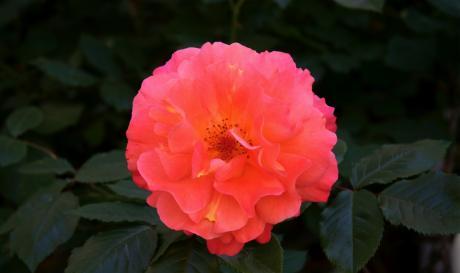 Rose flamboyante!