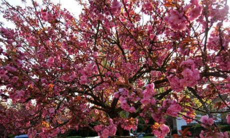Encore des cerisiers