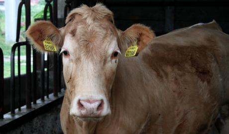 Vache (pas si) folle